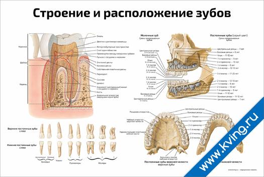 Плакат строение и расположение зубов