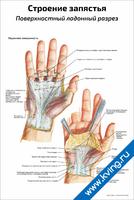 Строение запястья, поверхностный ладонный разрез — медицинский плакат