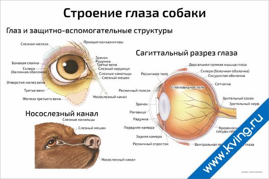 Плакат строение глаза собаки