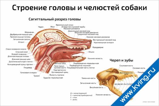 Плакат строение головы и челюстей собаки
