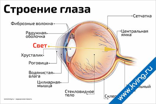 Плакат строение глаза