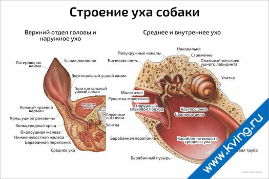 Плакат строение уха собаки