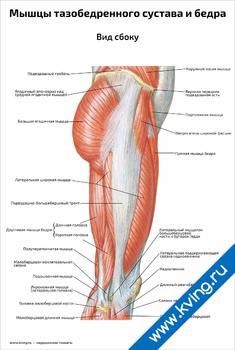 Плакат мышцы тазобедренного сустава и бедра, вид сбоку