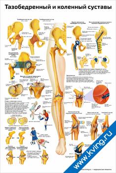 Плакат тазобедренный и коленный суставы
