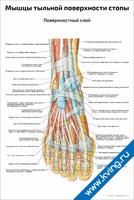 Мышцы тыльной поверхности стопы, поверхностный слой — медицинский плакат