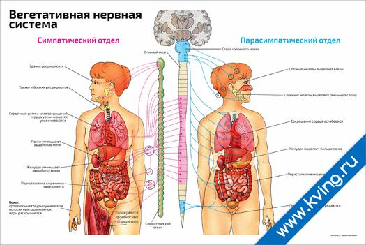 Плакат вегетативная нервная система с отделами
