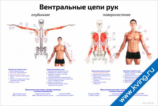 Плакат вентральные цепи рук: глубинная, поверхностная