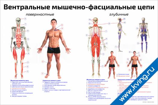 Плакат вентральные мышечно-фасциальные цепи