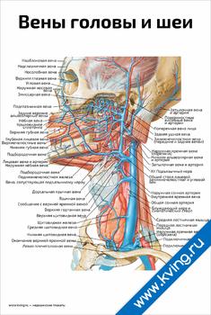 Плакат вены и артерии головы и шеи