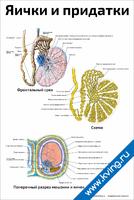 Яички и придатки — медицинский плакат