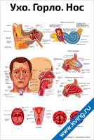 Ухо, горло, нос — медицинский плакат