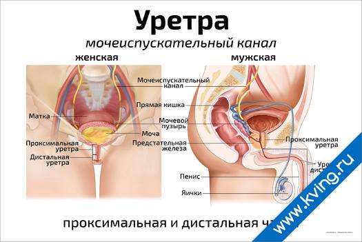Плакат уретра: мочеиспускательный канал