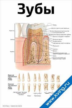 Плакат зубы